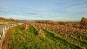 vigne (3)
