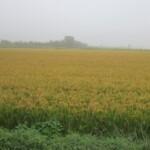 incontriamo le prime risaie dorate: la mietitura è ormai prossima